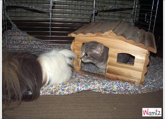 Nouveau locataire chez le cochon-d'inde, lolcats réalisé sur Wamiz