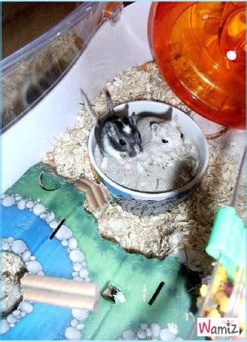 Speedy et Rose couple de gerbilles, lolcats réalisé sur Wamiz