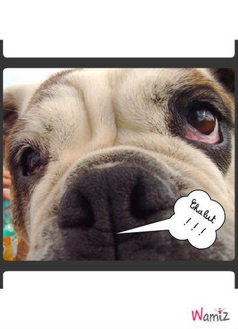 Bulldog Anglais, lolcats réalisé sur Wamiz