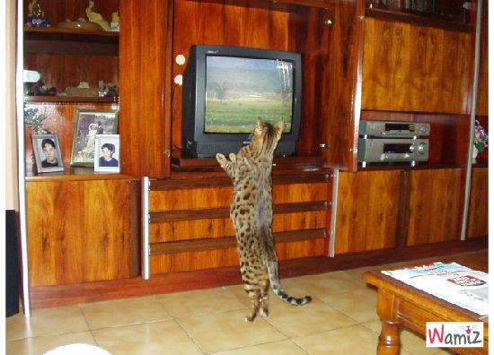 les bengals ça aime regarder la télévision, lolcats réalisé sur Wamiz