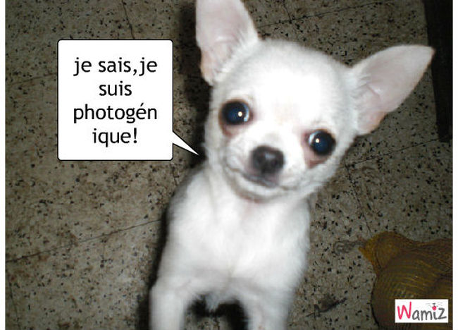 Chihuahua photogénique:!, lolcats réalisé sur Wamiz