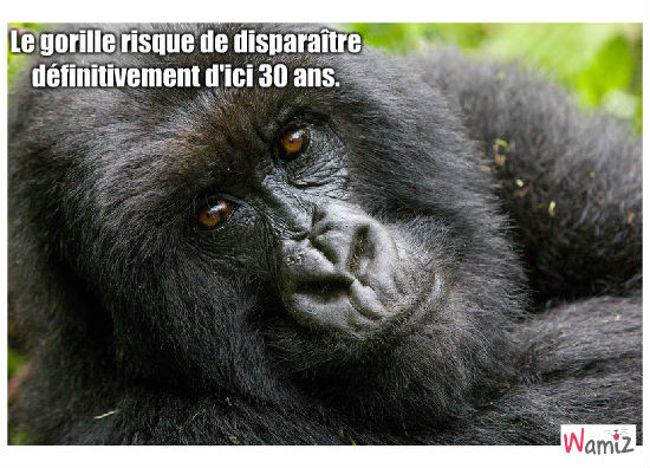 gorille, lolcats réalisé sur Wamiz