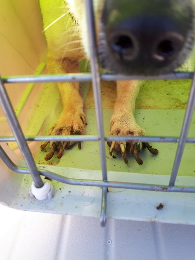 Griffes de chien très longues