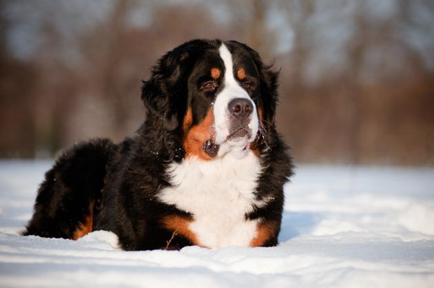 10 races de chiens ultra-résistantes au froid