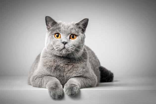 british shorthair race