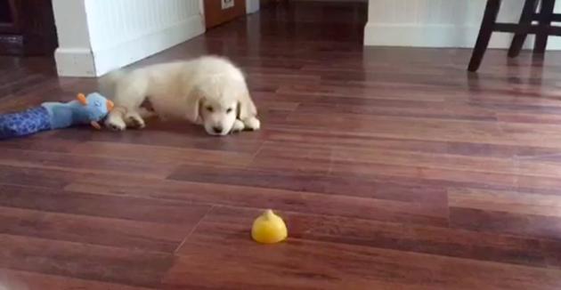 Le chien fait mine de snober le citron