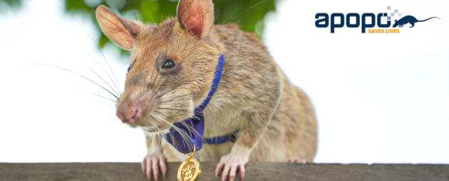 Magawa et sa médaille d'or