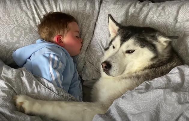 Le Husky encercle l'enfant de ses pattes