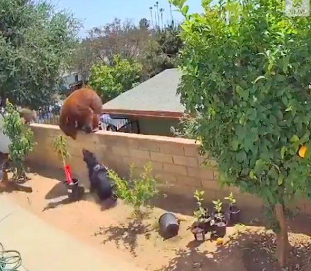 L'ours s'attaque au chien d'assistance