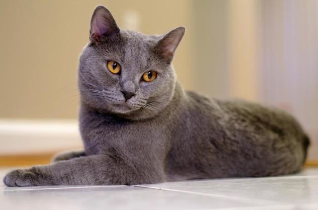 chartreux race de chat
