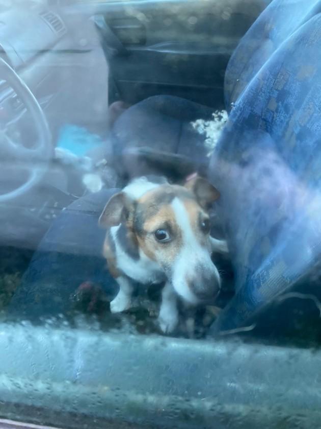 Chien jack russell enfermé dans une voiture