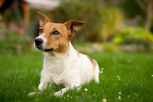 Top 10 des races de chiens les plus perdues en France