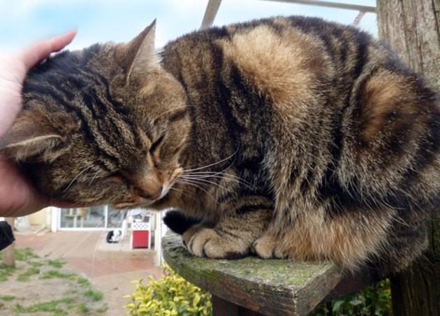 kenzi chatte tigrée
