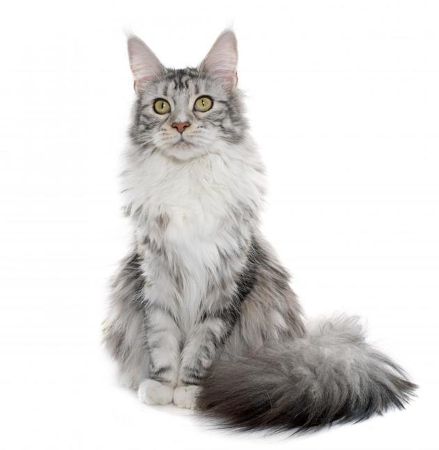 maine coon chat race
