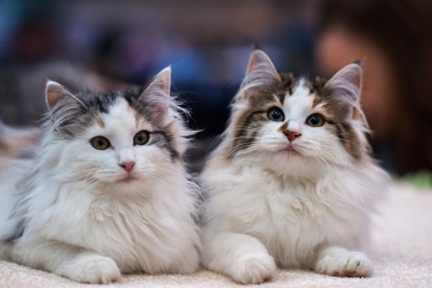 norwegian kittens