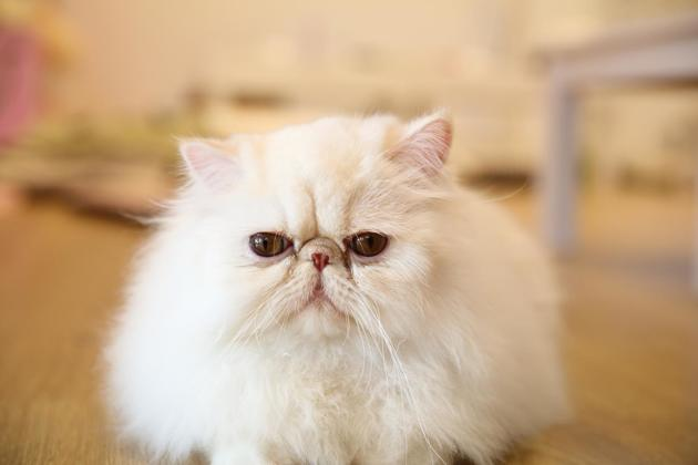 persan race de chat