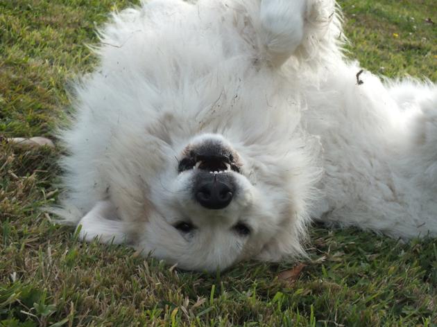 chien de montagne des Pyrénées blanc
