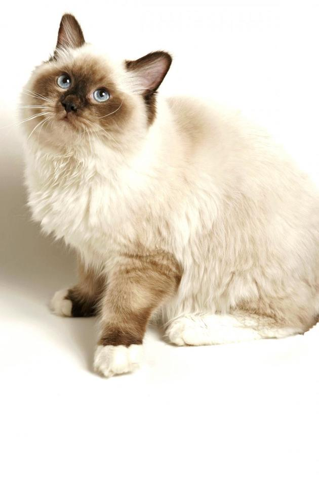 Top 20 favorite cat breeds of the French in 2020: discover the ranking!