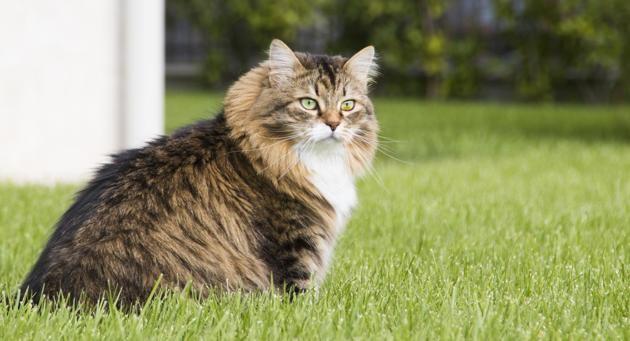 sibérien race de chats