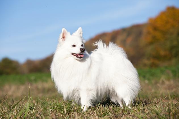 Spitz allemand blanc chien