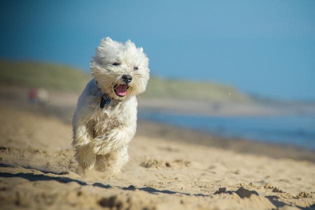 West Highland Terrier chien blanc