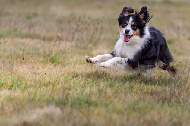 Berger australien : tout savoir sur cette race de chien