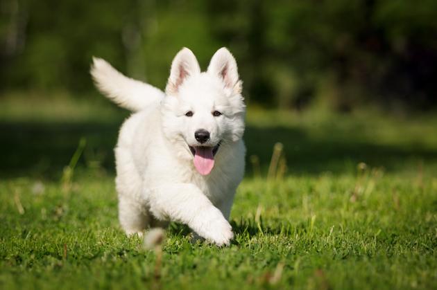 berger blanc suisse chien
