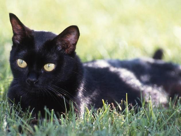 12 races de chats rares dont vous n'avez probablement jamais entendu parler !