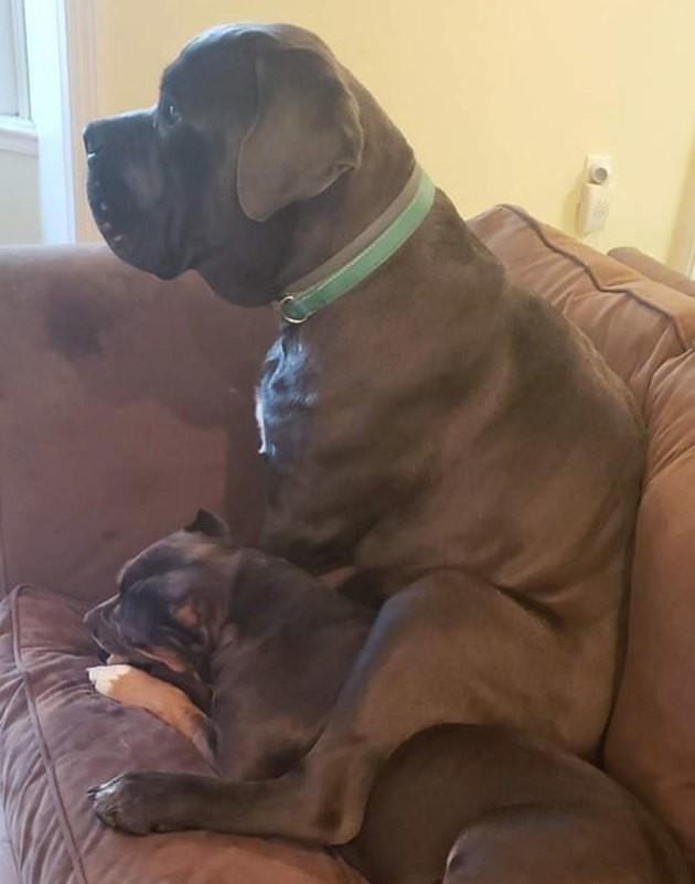 Ce Cane Corso a la façon la plus encombrante possible de montrer son amour