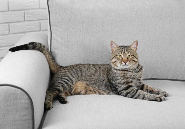 chat sur canapé