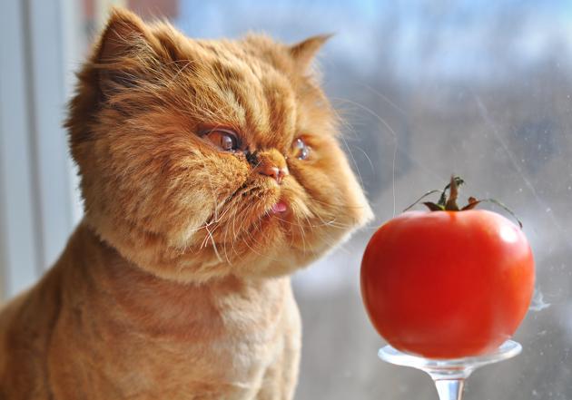 La prévention du diabète chez le chat