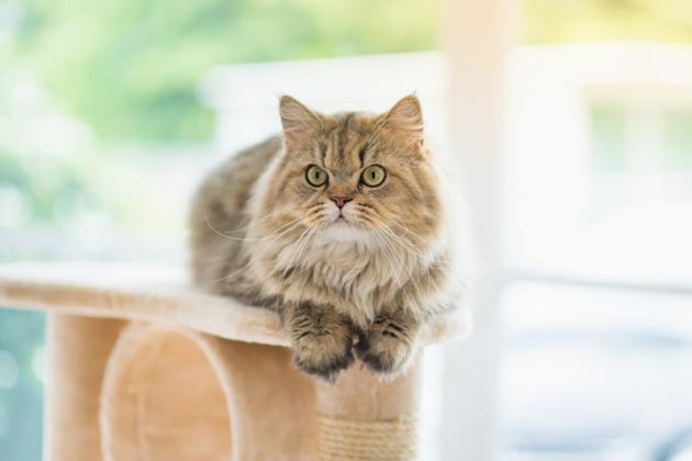 Arthrose du chat : Quelles races sont les plus à risque ?