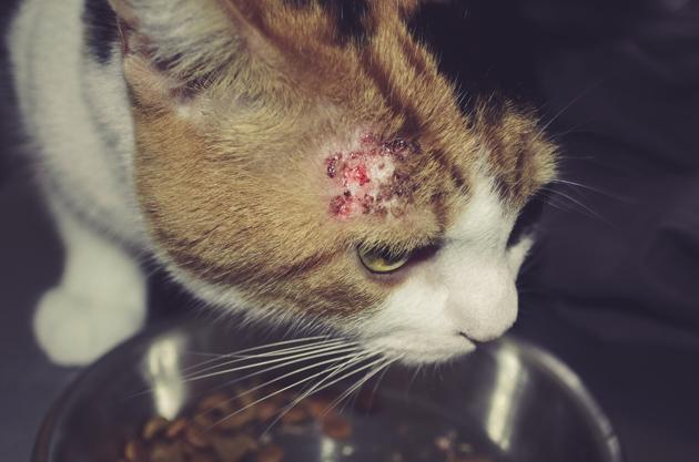 Mon chat s'arrache les poils, pourquoi ?