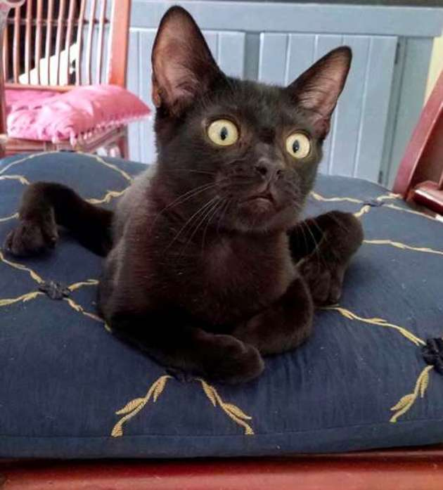 chaton araignée