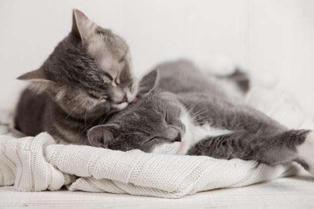 Les chats peuvent-ils tomber amoureux ? De l'affection à l'amour, il n'y a qu'un pas !
