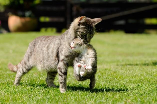Une chatte qui porte son chaton par la peau du cou
