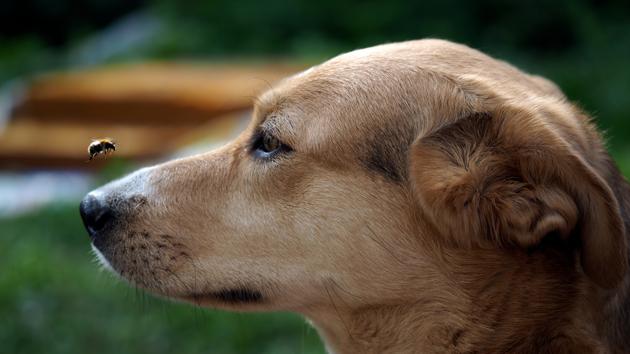 Mon chien s'est fait piquer par une guêpe ou une abeille : comment le soigner ?