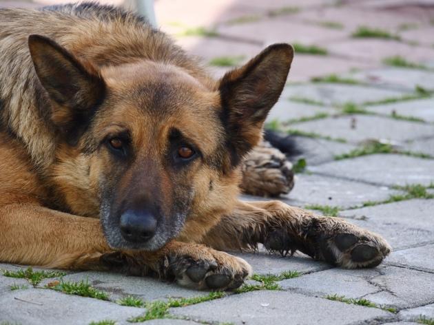 Arthrose du chien : comment savoir s'il souffre ?