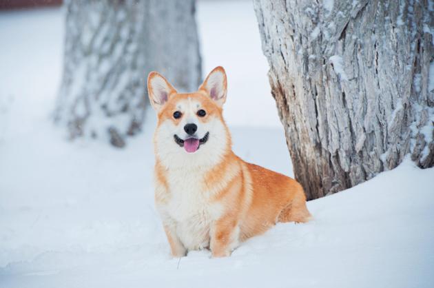 corgi dans le froid, neige