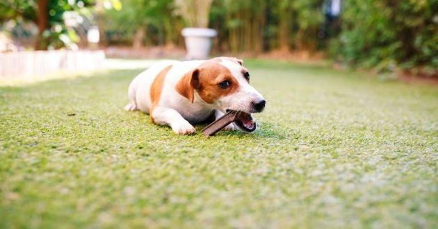 chien mache lamelle anti tartre