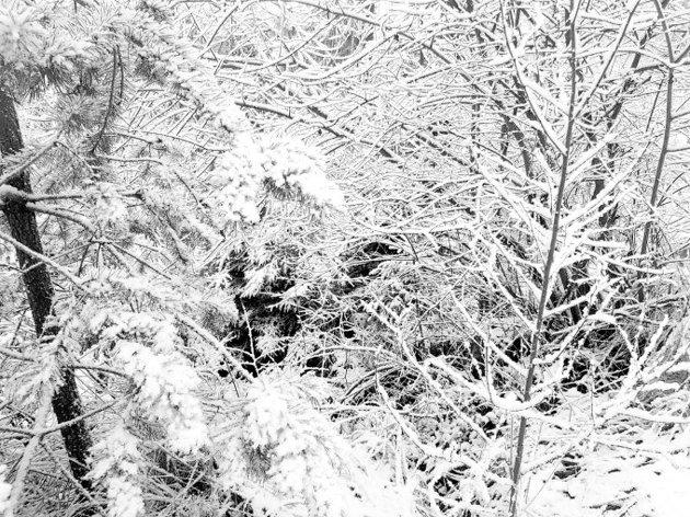 Un Labrador se cache dans la neige, mais seules les personnes aux yeux perçants peuvent le trouver !
