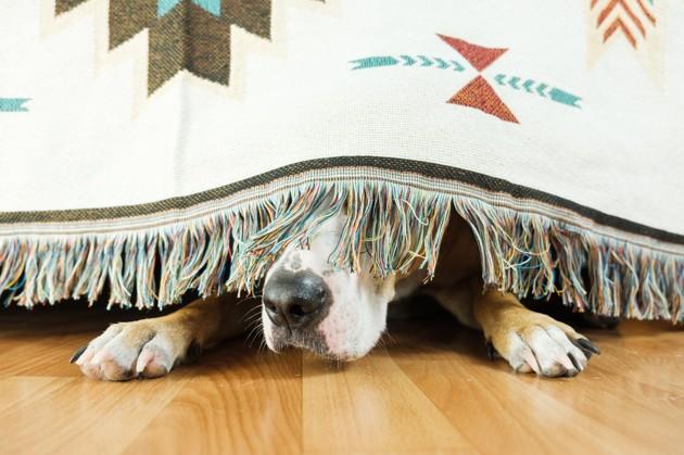 chien caché sous le canapé car stressé