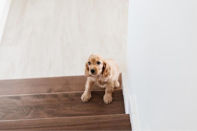 Un chiot cocker dans un escalier