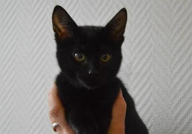 chaton noir adoption