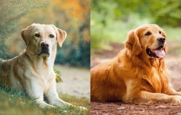 un golden retriever et labrador retriever