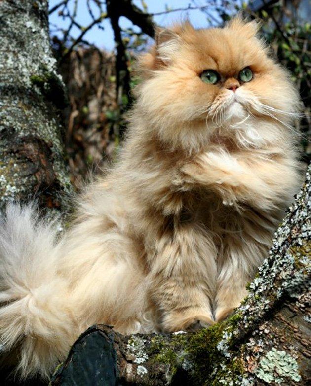 Le chat tabby, un animal modeste aux marquages extraordinaires !