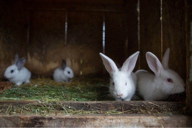 lapins blancs