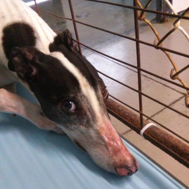 Dans ce refuge, les chiens sont contraints de faire des dons de sang