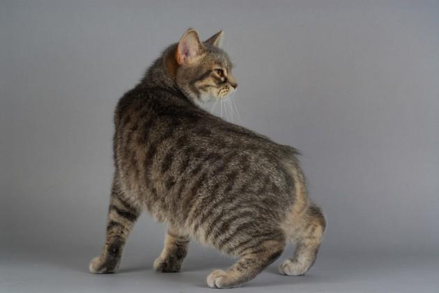 Top 10 des chats les plus chers du monde (avec des prix à 5 chiffres !)