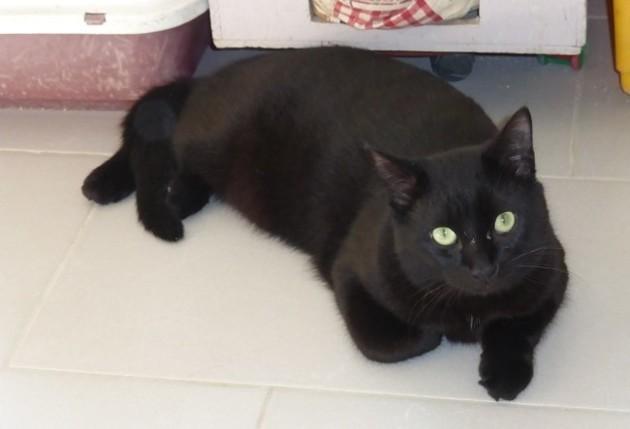 météore chat noir